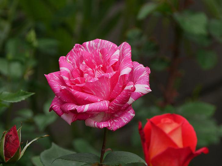 モダン・タイムズ(木立バラ)の花が咲いた。2019年-7.jpg