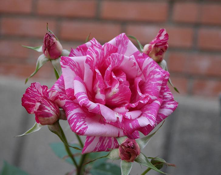 モダン・タイムズ(木立バラ)の花が房で咲いた。2019年-1.jpg