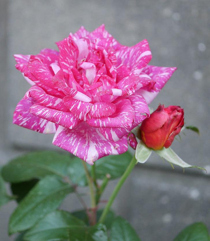 モダン・タイムズ(木立バラ)の花が房で咲いた。2019年-2.jpg