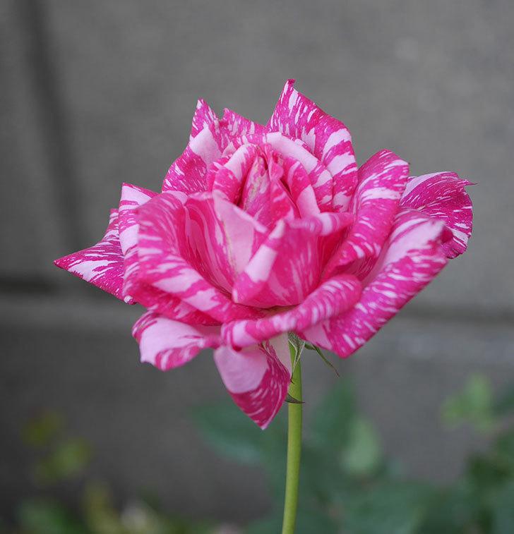 モダン・タイムズ(木立バラ)の花が房で咲いた。2019年-3.jpg