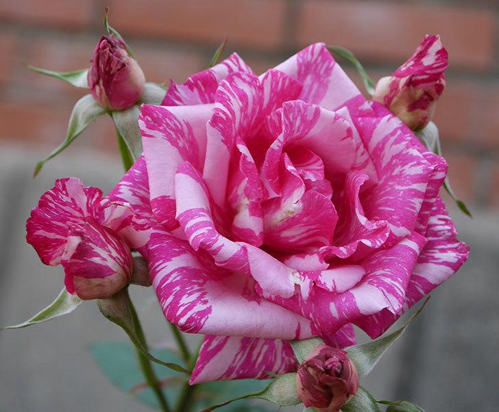モダン・タイムズ(木立バラ)の花が房で咲いた。2019年-4.jpg