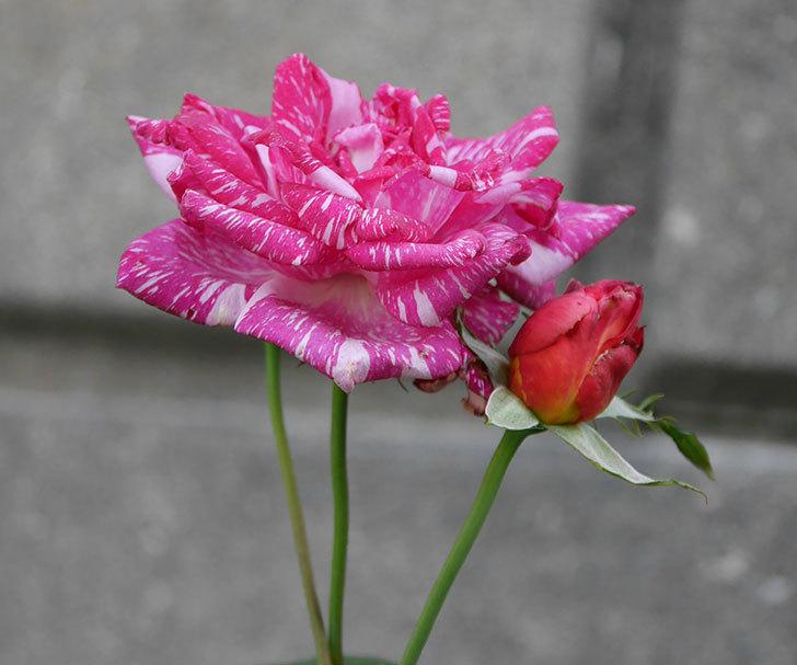 モダン・タイムズ(木立バラ)の花が房で咲いた。2019年-5.jpg