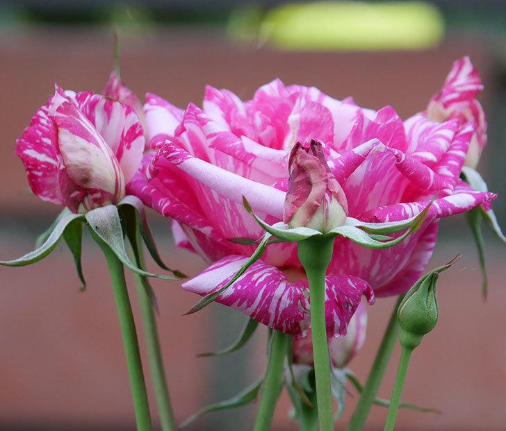 モダン・タイムズ(木立バラ)の花が房で咲いた。2019年-7.jpg