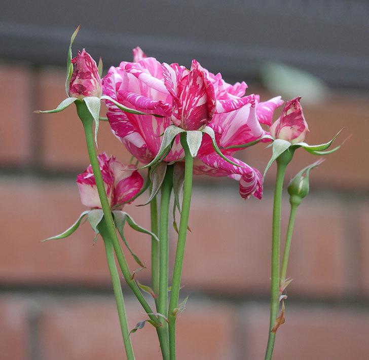 モダン・タイムズ(木立バラ)の花が房で咲いた。2019年-9.jpg