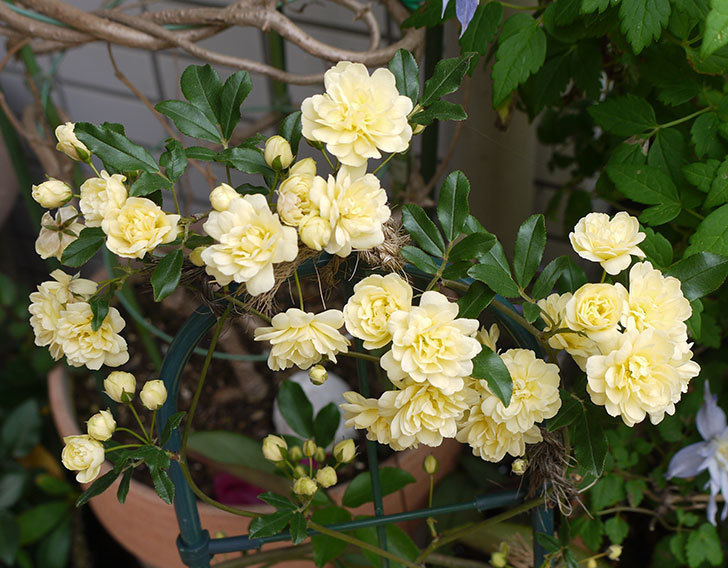 モッコウバラがたくさん咲いた。2016年-1.jpg