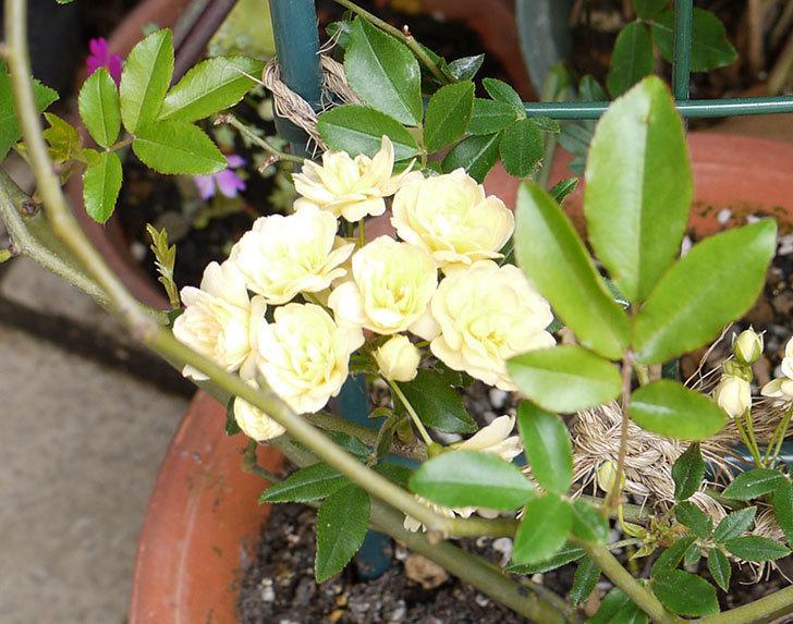 モッコウバラがたくさん咲いた。2016年-2.jpg