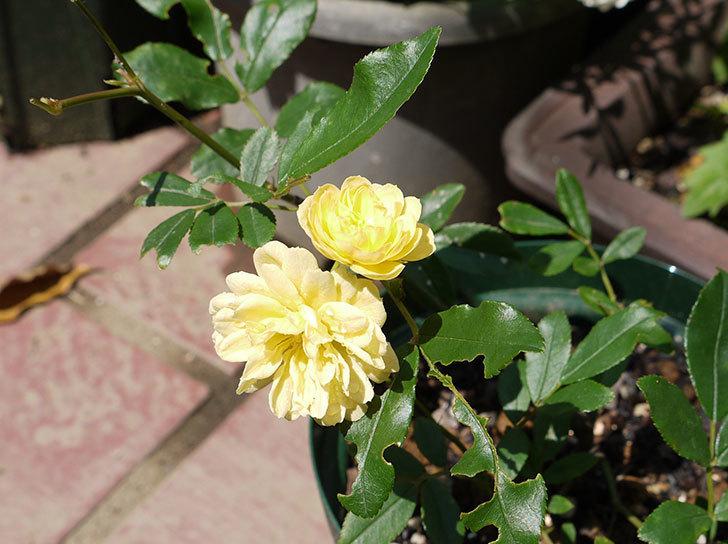 モッコウバラが咲いた1.jpg