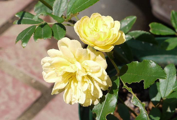 モッコウバラが咲いた3.jpg