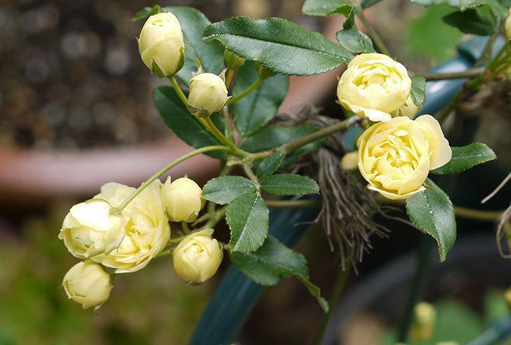 モッコウバラが咲いた。2016年-3.jpg