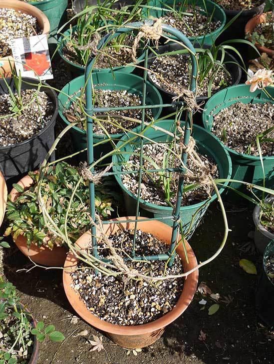 モッコウバラの植え替えと誘引をした。2016年-1.jpg