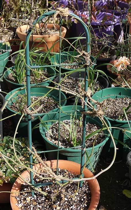 モッコウバラの植え替えと誘引をした。2016年-6.jpg