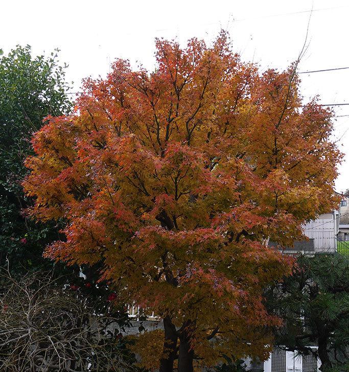 モミジが紅葉して赤くなった。2015年-1.jpg