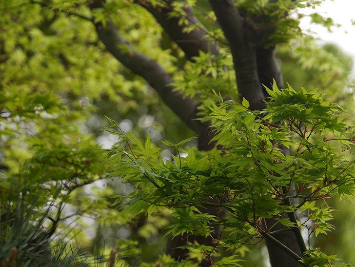 モミジの新緑が良い感じになった。2021年-002.jpg