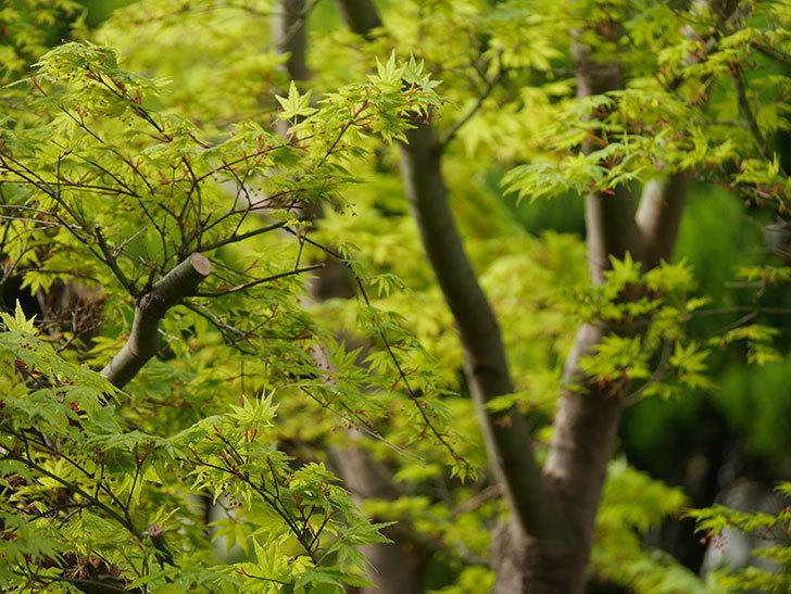モミジの新緑が良い感じになった。2021年-003.jpg