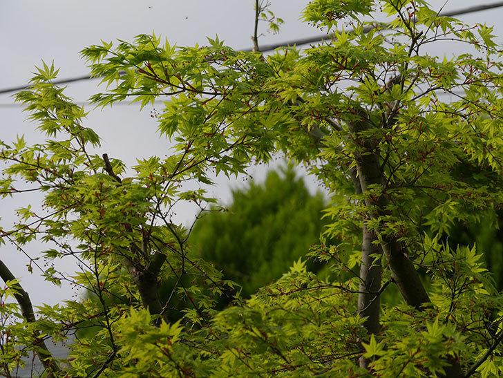 モミジの新緑が良い感じになった。2021年-005.jpg