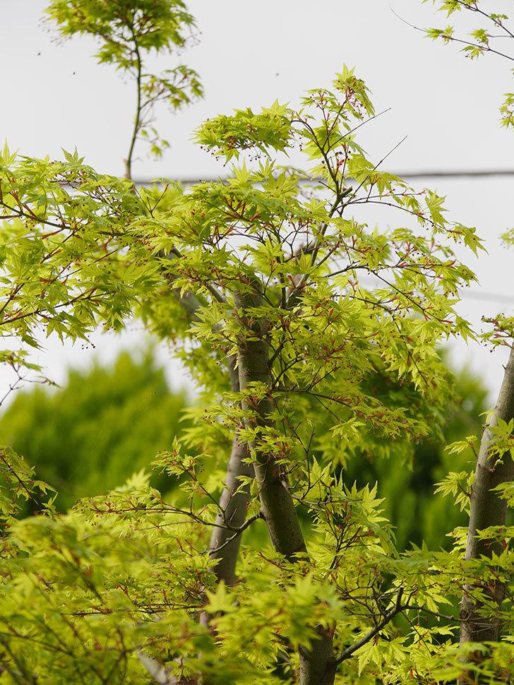 モミジの新緑が良い感じになった。2021年-006.jpg