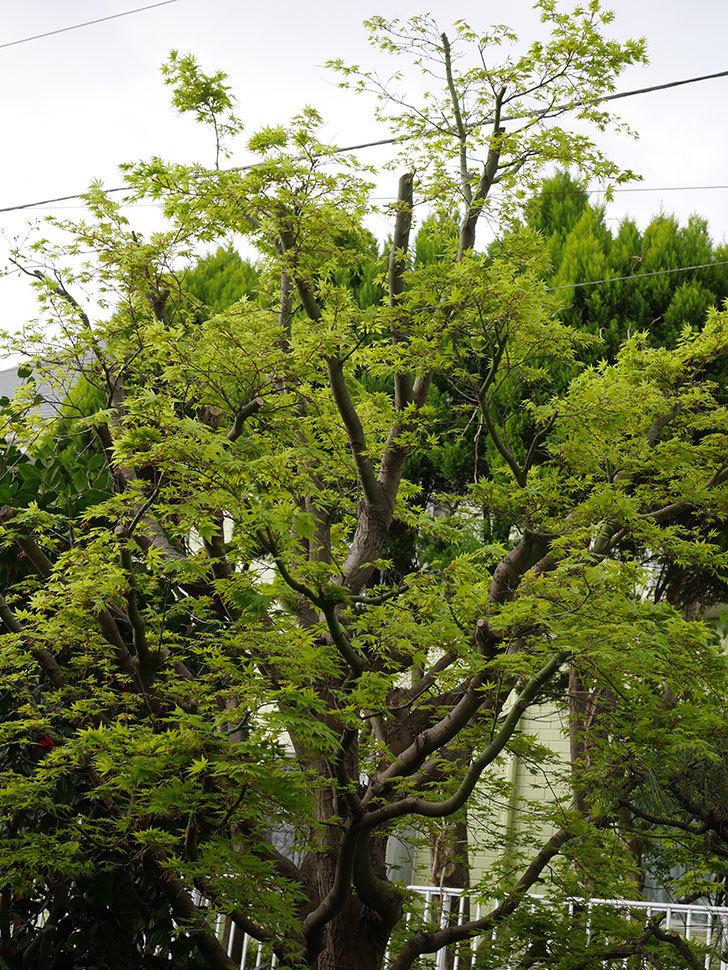 モミジの新緑が良い感じになった。2021年-014.jpg