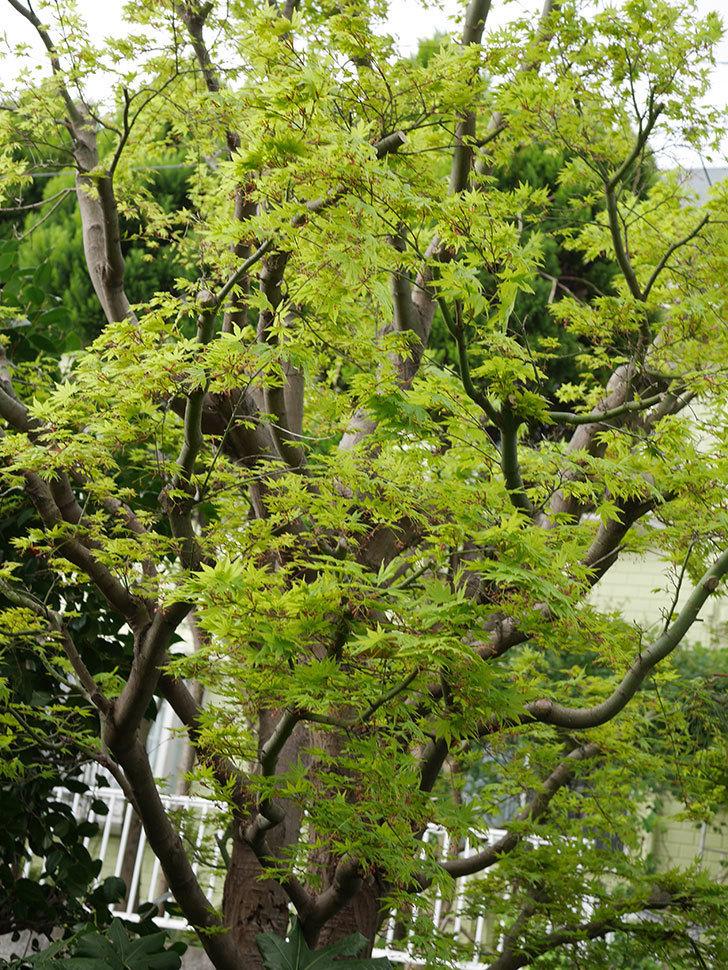 モミジの新緑が良い感じになった。2021年-015.jpg