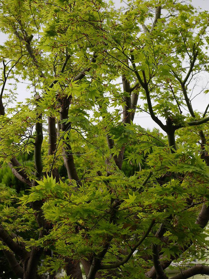 モミジの新緑が良い感じになった。2021年-019.jpg
