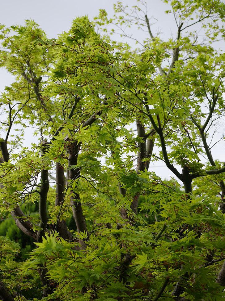 モミジの新緑が良い感じになった。2021年-020.jpg