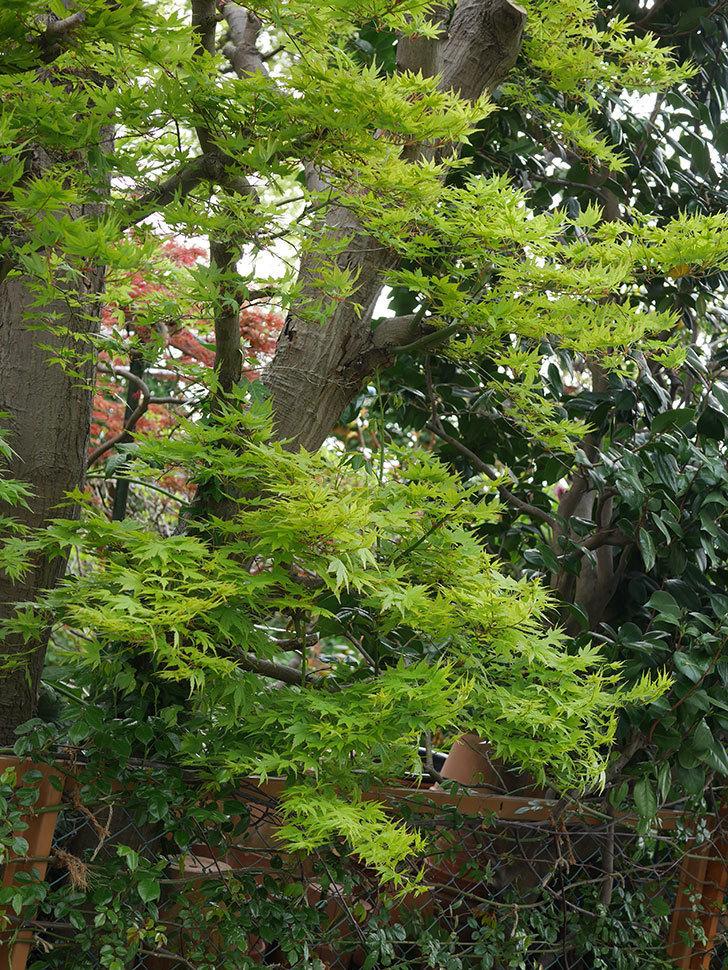 モミジの新緑が良い感じになった。2021年-025.jpg
