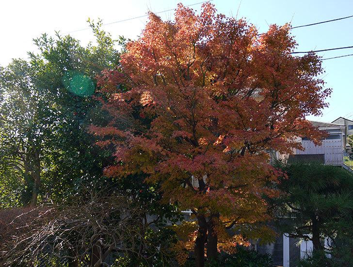 モミジの紅葉が良い感じになった。2014-1.jpg