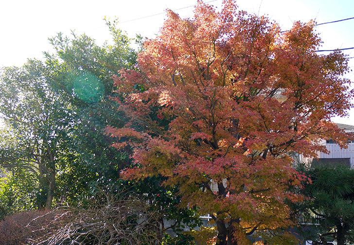 モミジの紅葉が良い感じになった。2014-3.jpg