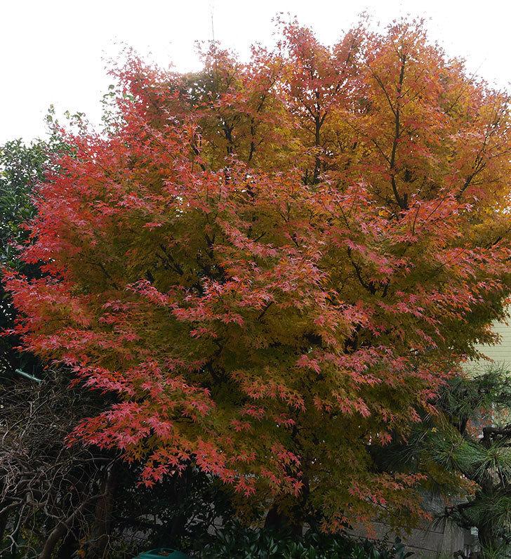 モミジの葉が紅葉して赤くなってきた。2016年-1.jpg
