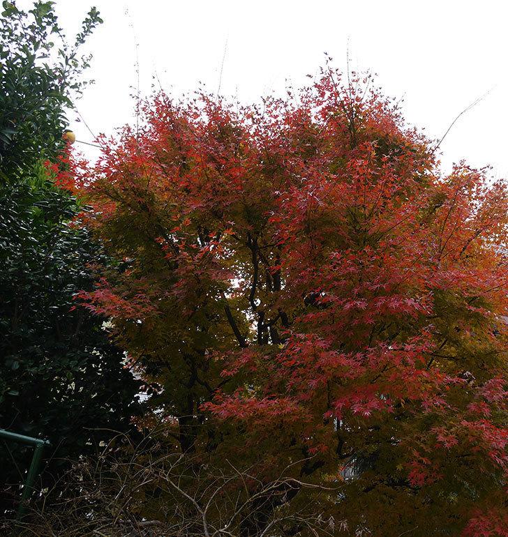 モミジの葉が紅葉して赤くなってきた。2016年-3.jpg