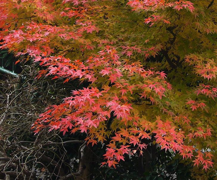 モミジの葉が紅葉して赤くなってきた。2016年-4.jpg