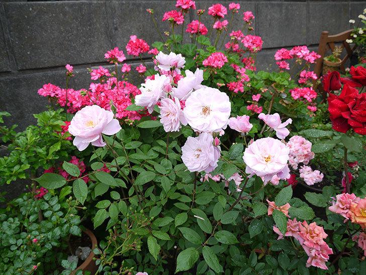 モーティマー・サックラー(ツルバラ)がたくさん咲いた。2017年-2.jpg
