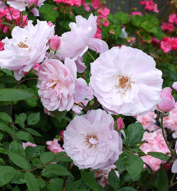 モーティマー・サックラー(ツルバラ)がたくさん咲いた。2017年-3.jpg