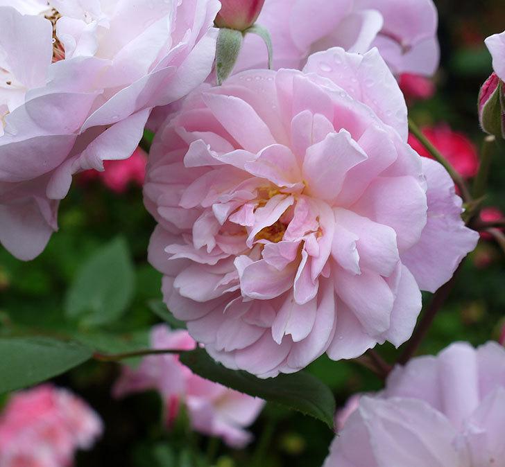 モーティマー・サックラー(ツルバラ)がたくさん咲いた。2017年-4.jpg
