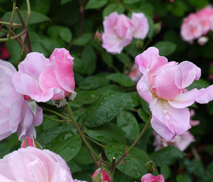 モーティマー・サックラー(ツルバラ)がたくさん咲いた。2017年-7.jpg