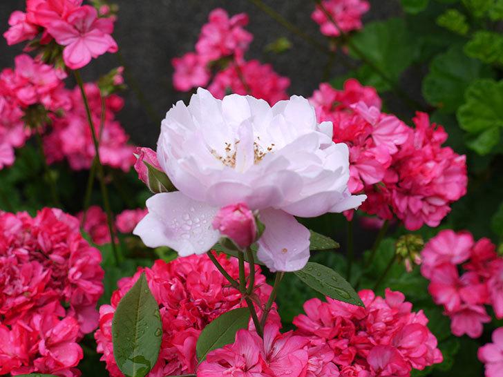 モーティマー・サックラー(ツルバラ)がたくさん咲いた。2017年-9.jpg