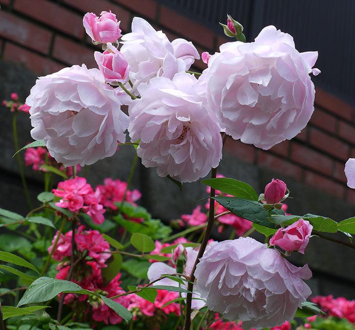 モーティマー・サックラー(ツルバラ)がやわらかい雰囲気で咲いた。2017年-1.jpg