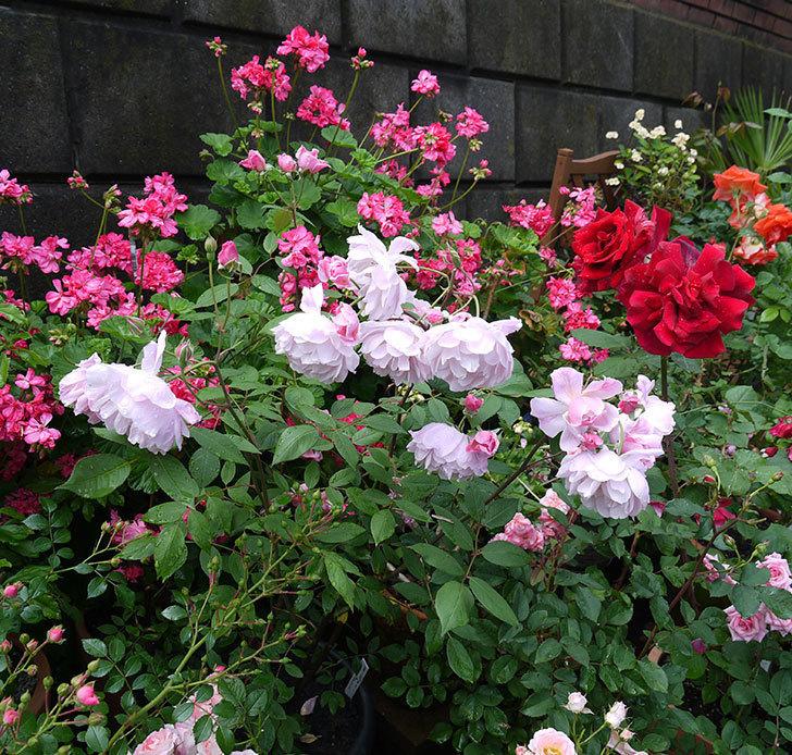 モーティマー・サックラー(ツルバラ)がやわらかい雰囲気で咲いた。2017年-2.jpg