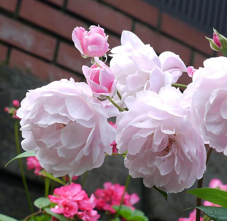 モーティマー・サックラー(ツルバラ)がやわらかい雰囲気で咲いた。2017年-4.jpg