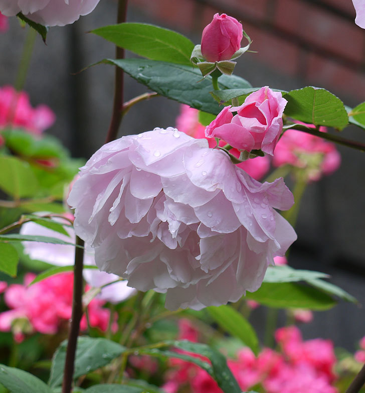モーティマー・サックラー(ツルバラ)がやわらかい雰囲気で咲いた。2017年-6.jpg