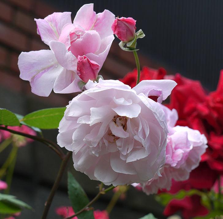モーティマー・サックラー(ツルバラ)がやわらかい雰囲気で咲いた。2017年-7.jpg