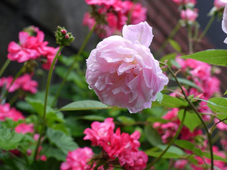 モーティマー・サックラー(ツルバラ)がやわらかい雰囲気で咲いた。2017年-8.jpg