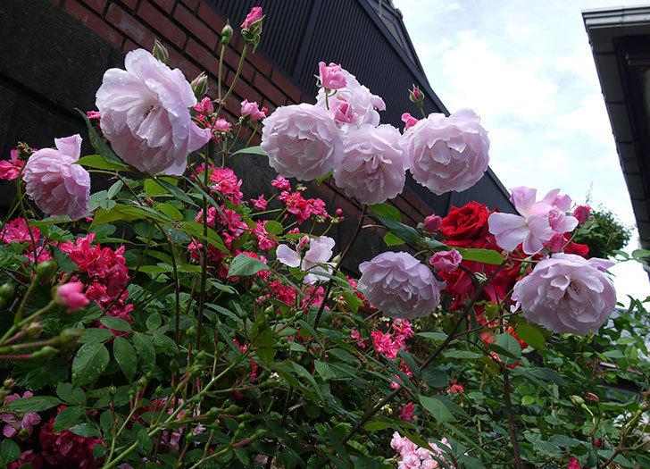 モーティマー・サックラー(ツルバラ)がやわらかい雰囲気で咲いた。2017年-9.jpg