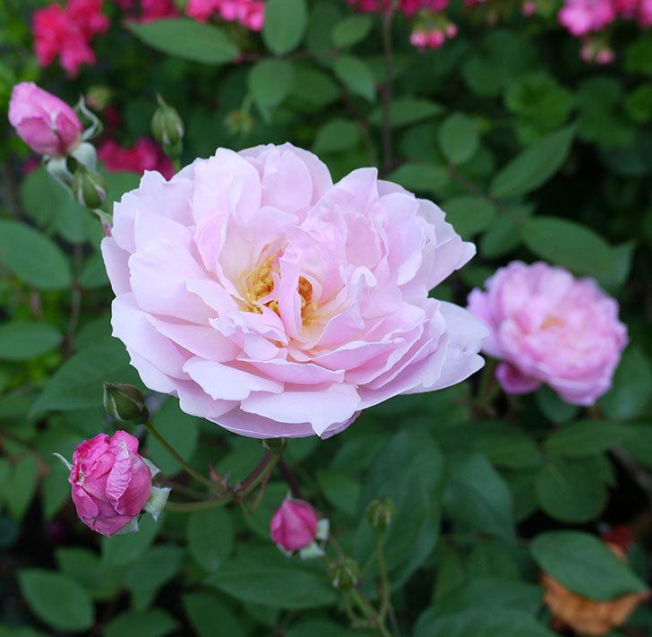 モーティマー・サックラー(ツルバラ)が咲いた。2017年-2.jpg