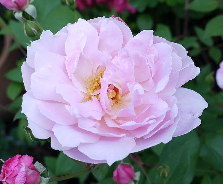 モーティマー・サックラー(ツルバラ)が咲いた。2017年-3.jpg
