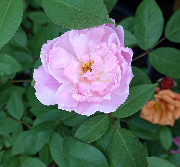モーティマー・サックラー(ツルバラ)が咲いた。2017年-4.jpg