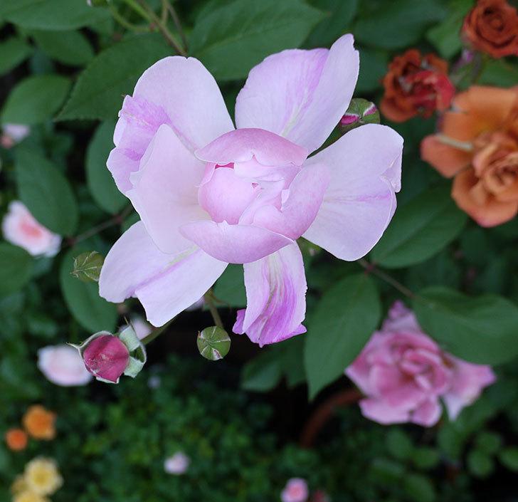 モーティマー・サックラー(ツルバラ)が咲いた。2017年-5.jpg
