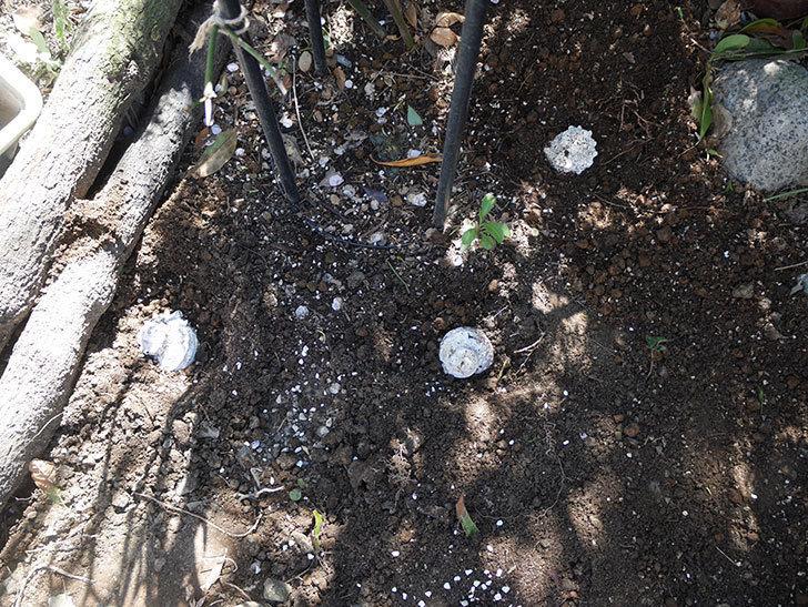 モーティマー・サックラー(ツルバラ)に寒肥を施した。2019年-3.jpg