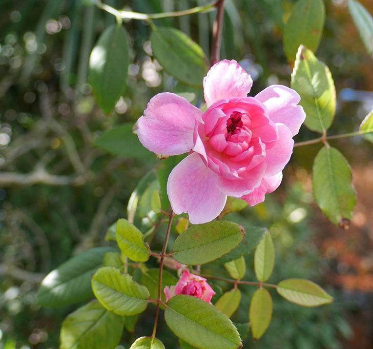 モーティマー・サックラー(ツルバラ)に濃いピンクの花が咲いた。2017年-1.jpg