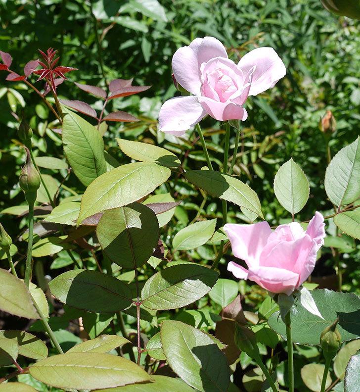 モーティマー・サックラー(ツルバラ)の2番花が咲いた。2017年-1.jpg