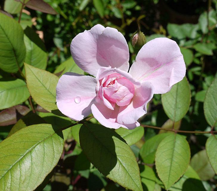 モーティマー・サックラー(ツルバラ)の2番花が咲いた。2017年-2.jpg